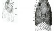 Link del artículo RESUMEN: Los braquiopterigios han sido en los últimos años un grupo filogenéticamente muy controvertido. Clásicamente, se les ha considerado un grupo afín a los actinopterigios, pero con una ruta evolutiva diferenciada. Actualmente dos posiciones se enfrentan sobre la posición de este grupo, compuesto por los géneros, Polypterus y Erpetoichthys: aquellos que consideran a los dos géneros más próximos a los sarcopterigios, y aquellos que los consideran un grupo basal de actinopterigios. En este trabajo se presenta una breve revisión bibliográfica de pruebas morfológicas y moleculares que apoyan la hipótesis de la proximidad a los actinopterigios. Álvaro G. […]