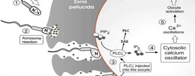"""Link al Artículo RESUMEN: ¿Existen similitudes en cuanto a la reproducción entre la gran diversidad de metazoos? En concreto, ¿existen similitudes a nivel de la capacitación del espermatozoide, la composición de las membranas oocitarias, la unión espermática, la reacción acrosómica, la fusión gamética, la activación oocitaria o en la formación del cigoto? En este trabajo se intenta realizar una labor divulgativa del trabajo realizado por J.J. Tarín titulado """"Fertilization in protozoa and metazoan animals: a comparative overview"""". También se realizará una breve reseña histórica del descubrimiento de procesos como los """"determinantes"""" de Weismann, que contribuyeron a iniciar el estudio de […]"""